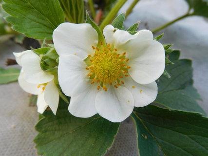 FOTKA - Pohled do květu jahodniku (2.5.)