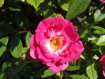 FOTKA - mini ruža