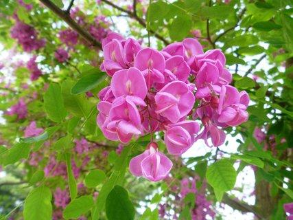 FOTKA - akát růžový