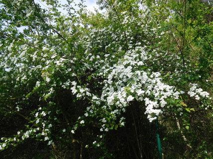 FOTKA - Kvetoucí hloh u plotu kempu (11.5.)