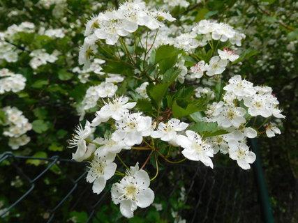 FOTKA - Větvička s květy (11.5.)