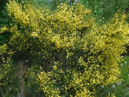 FOTKA - Žlutě kvetoucí janovec (13.5.)