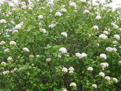 FOTKA - Zřejmě se jedná o kalinu kulovitou s ružovými poupaty a bílými květy (13.5.)
