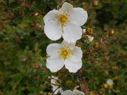 FOTKA - Mochna s bílými květy - detail (15.5.)