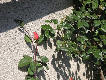 FOTKA - První poupě růžičky 24.5.