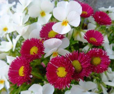 FOTKA - bílé s červenými sedmikráskami