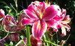 Dendrologická zahrada v Průhonicích - růžové lilie