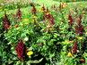 Dendrologická zahrada v Průhonicích - amaranty a ty další