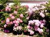růžovo-bílé rododendrony