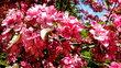 růžové květy v ML 1.6.