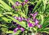 drobné fialové irisy