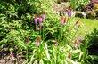 Primula vialii - prvosenka zahradní
