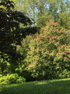 FOTKA - červený jírovec za domem