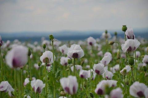 FOTKA - bílé makové pole