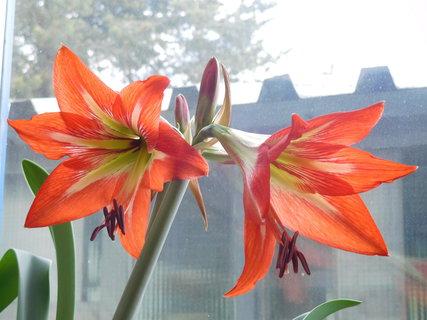 FOTKA - První květy na amarylisce (v práci)-(23.5.)