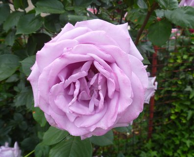 FOTKA - růže z naší uličky