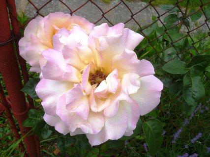 FOTKA - plot a růže
