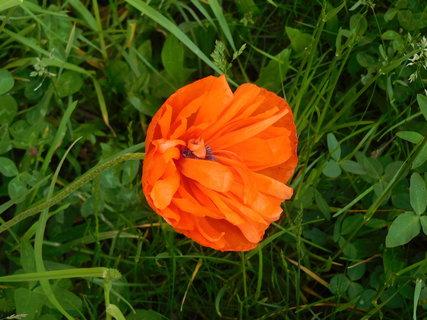 FOTKA - Květ okrasného máku (23.5.)
