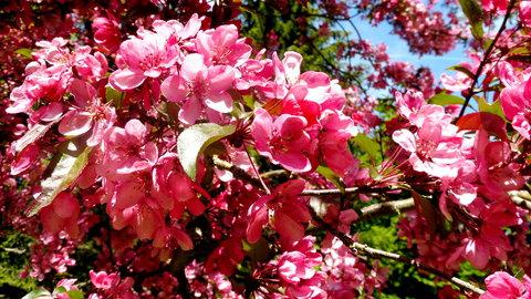 FOTKA - růžové květy v ML 1.6.