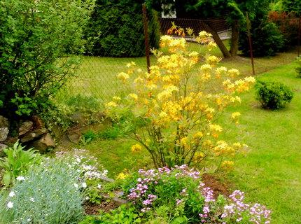 FOTKA - azalka žlutá