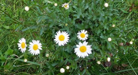 FOTKA - Luční kopretiny v trávě (25.5.)