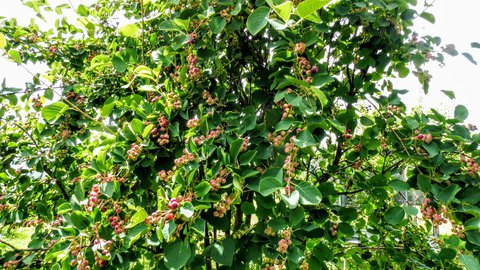 FOTKA - 15.6. u přátel - indiánské borůvky v květu (muchovník)
