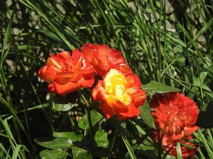 FOTKA - Růže červená se žlutým středem