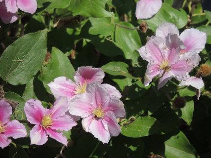 FOTKA - Růžový clemátis