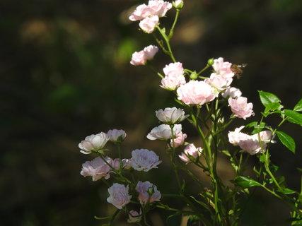 FOTKA - Růžová drobnokvětá růžička