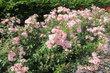 Rozárium ve Stromovce - růžové