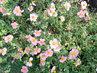 kvítečka růžová