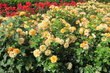 Královská obora - růže v rozáriu