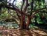 strom v zámeckém parku Chlumec nad Cidlinou