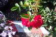 Dvě růžičky
