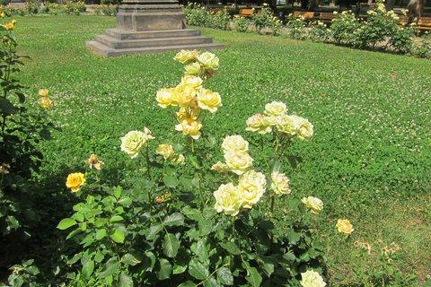 FOTKA - Kaizlovy sady -  záhony žlutých růží nikdo nestříhá, takže i záhony odkvetlých růží