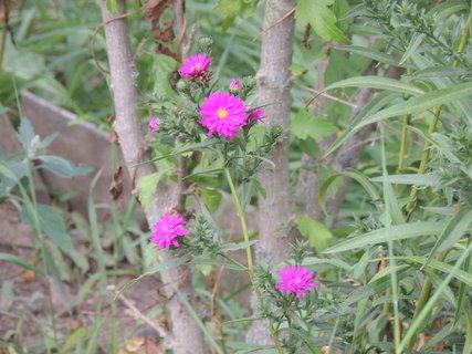 FOTKA - Podzimní astry už začínají kvést
