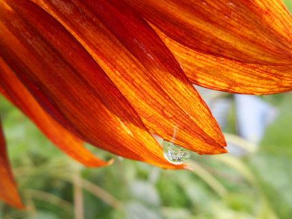 FOTKA - slunečnice ráno po dešti