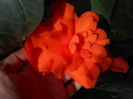 FOTKA - Oražová begonie