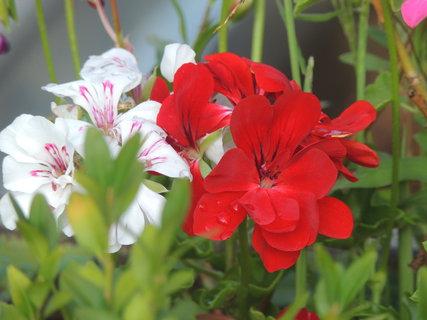 FOTKA - Červený a bílý muškát
