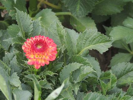 FOTKA - První květ jiřinky 7.8.