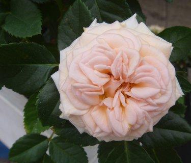 FOTKA - růžička malá