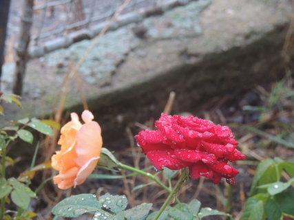FOTKA - Růžičky po dešti