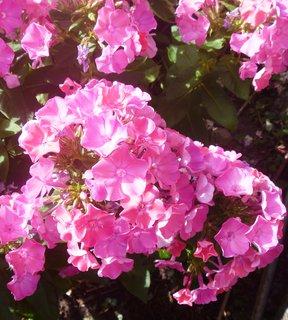FOTKA - zahrada..floxy