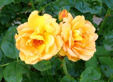 FOTKA - Žlté dvojčatá