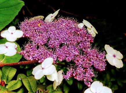 FOTKA - kalina fialová