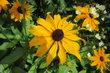 letní žluté květy