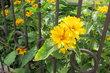 Žluto v plotě