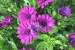 osteospermum,fialové