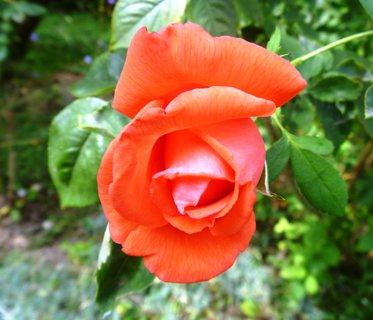 FOTKA - zahrada... růže