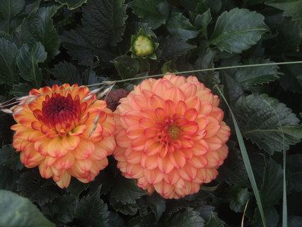 FOTKA - Jiřinky co květ, to originál